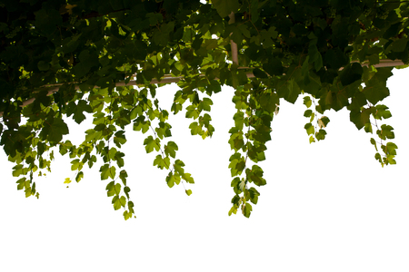 Close up view of grape leaf on white back  to be cut out photo