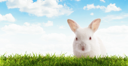 furskin: Close up view of nice young rabbit on blue sky back Stock Photo
