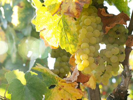 chardonnay: close up view of nice  fresh white grape in nature Stock Photo