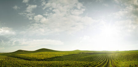 napa valley: panoramic view of grape plantation of Napa valley in summer time Stock Photo