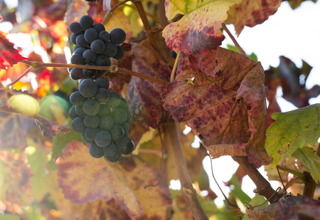nonfat: close up view of nice  fresh white grape in nature Stock Photo