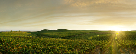 vineyard at sunset: panoramic view of grape plantation of Napa valley in summer time Stock Photo