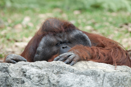 hominid: portrait of thoughtful  sad orangutan in summer invironment Stock Photo