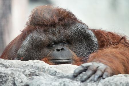 hominid: portrait of thoughtful  sad orangutan in summer invironment Stock Photo