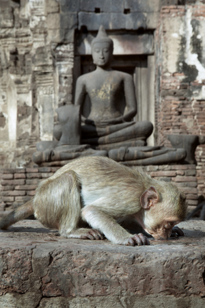 hominid: close up portrait of young monkey is drinking with Buddha on the background