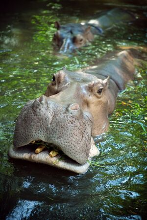 chordata: Close up view of nice  Hippopotamus face coming out of water Stock Photo