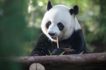 wild asia: portrait of nice panda bear eating in summer environment