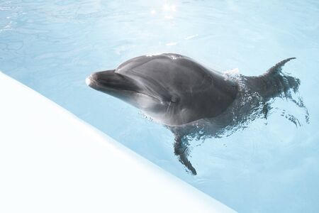 view of nice bottle nose dolphin  swimming in blue crystal water.  space for text.