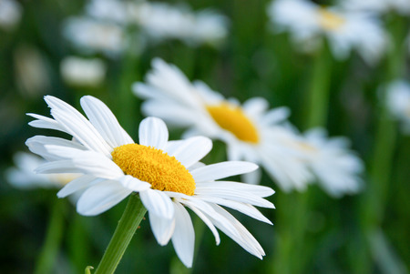 Daisy in nature