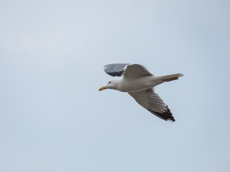 Single seagull flying in a blue sky background Stock Photo - 108855535