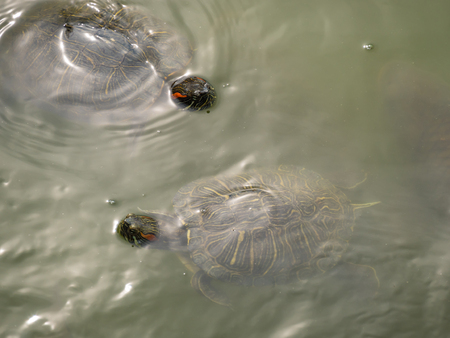 Two Red eared water turtle