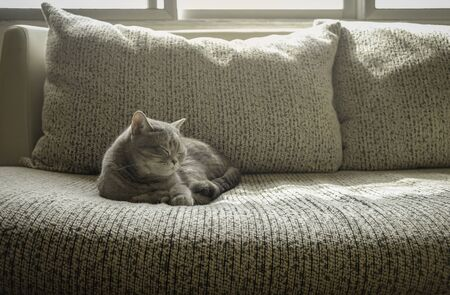 Grey cat short hair sleeping on sofa in a morning 免版税图像