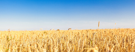 the wheat fields in sunny summer day