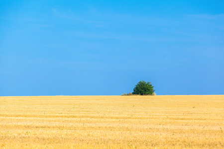 countryside background: the wheat fields in sunny summer day