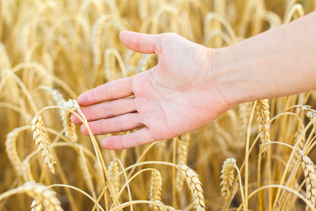 Woman hand touching wheat ears on the field photo