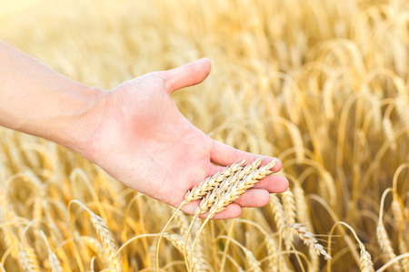 cereals holding hands: Woman hand touching wheat ears on the field
