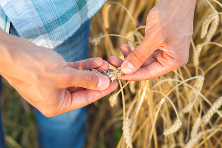 man hand touching wheat ears on the field photo