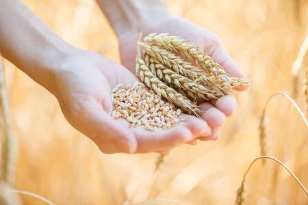 フィールド上の小麦の耳に触れる女性手 写真素材