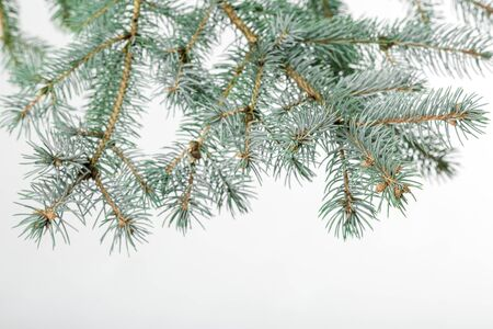 a bough: green fir branch for christmas, isolated on white