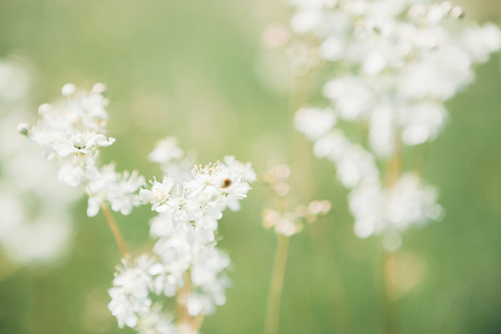 White wildflowers on summer day Stock Photo