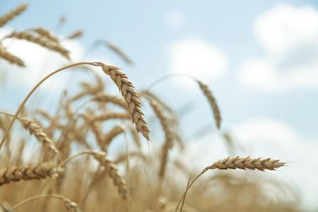 Agricultural background. Ripe golden spikelets of wheat in field