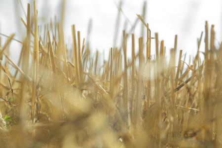 stubble field after harvest.