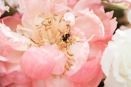 A honeybee extracts honey from a beautiful peony flower