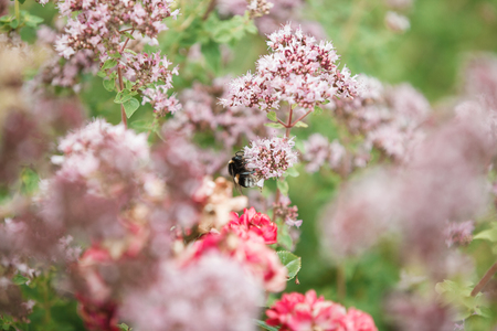 una abeja abeja polinizando de una flor hermosa peonía