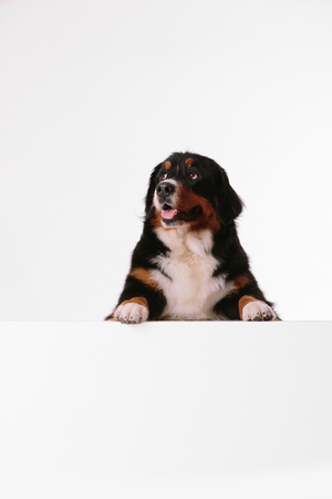 Bernese Mountain Dog looks into camera on white background. dog over white banner or blank white sign Stock Photo