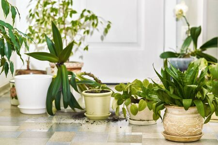 Home plants, flowers and empty pots on the floor. home gardening Transplantation process.
