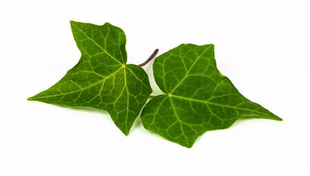 Ivy leaves isolated on white background