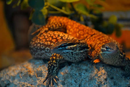 two identic lizzards is playing on top of the rock Stock Photo