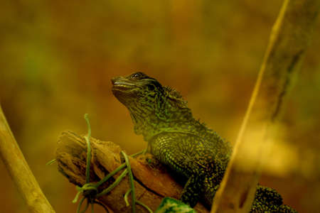 lizzard: a lizzard is waiting on top of the branch