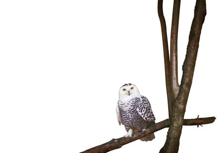 Polar owl isolated on white with blank space Фото со стока