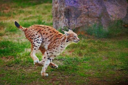 Lynx fast running Archivio Fotografico