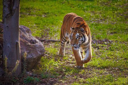 Tiger coming towards camera