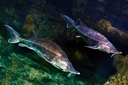 Sturgeon in wildlife, extremely rare fish