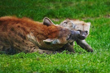 Hyena cub on green grass