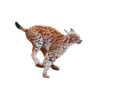 Lynx fast running isolated on white