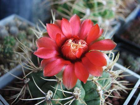 Cactus Gymnocalycium baldianum LB1243 with red flowers. 版權商用圖片