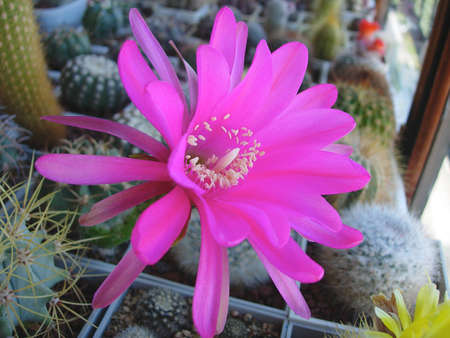 Cactus Echinopsis obrepanda R461 with huge bright flowers.
