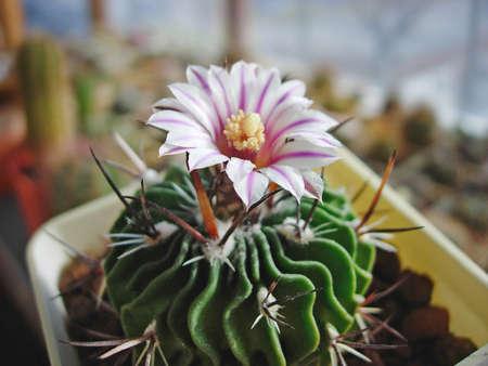 Cactus Stenocactus phyllacanthus var. violaciflorus SB107 with flower. 版權商用圖片