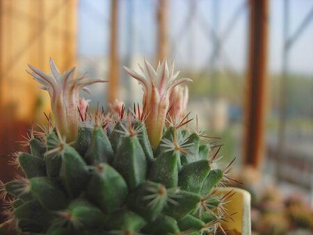 Young specimen of cactus Mammillaria sempervivi var. caput-medusae. Banco de Imagens