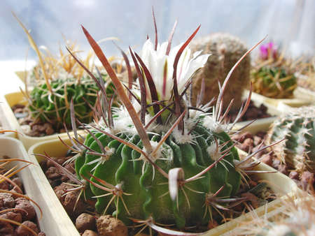 Cactus Stenocactus erectocentrus SB286 with flat spines and white flowers.
