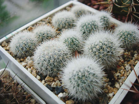 Small seedlings of cactus Escobaria orcuttii with dense spination.