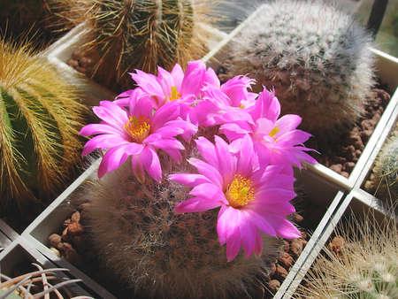 Mature specimen of cactus Krainzia guelzowiana.