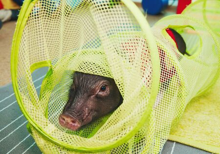 Small cute pig performance on kids birthday Stockfoto