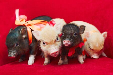 Small cute newborn mini pigs