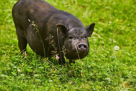 Cute fat pot-bellied pigs on free meadow of private farm Standard-Bild