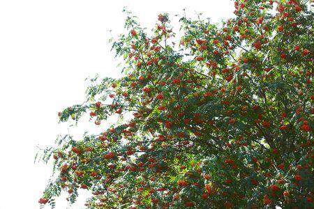 Rowan tree with big amount of berries